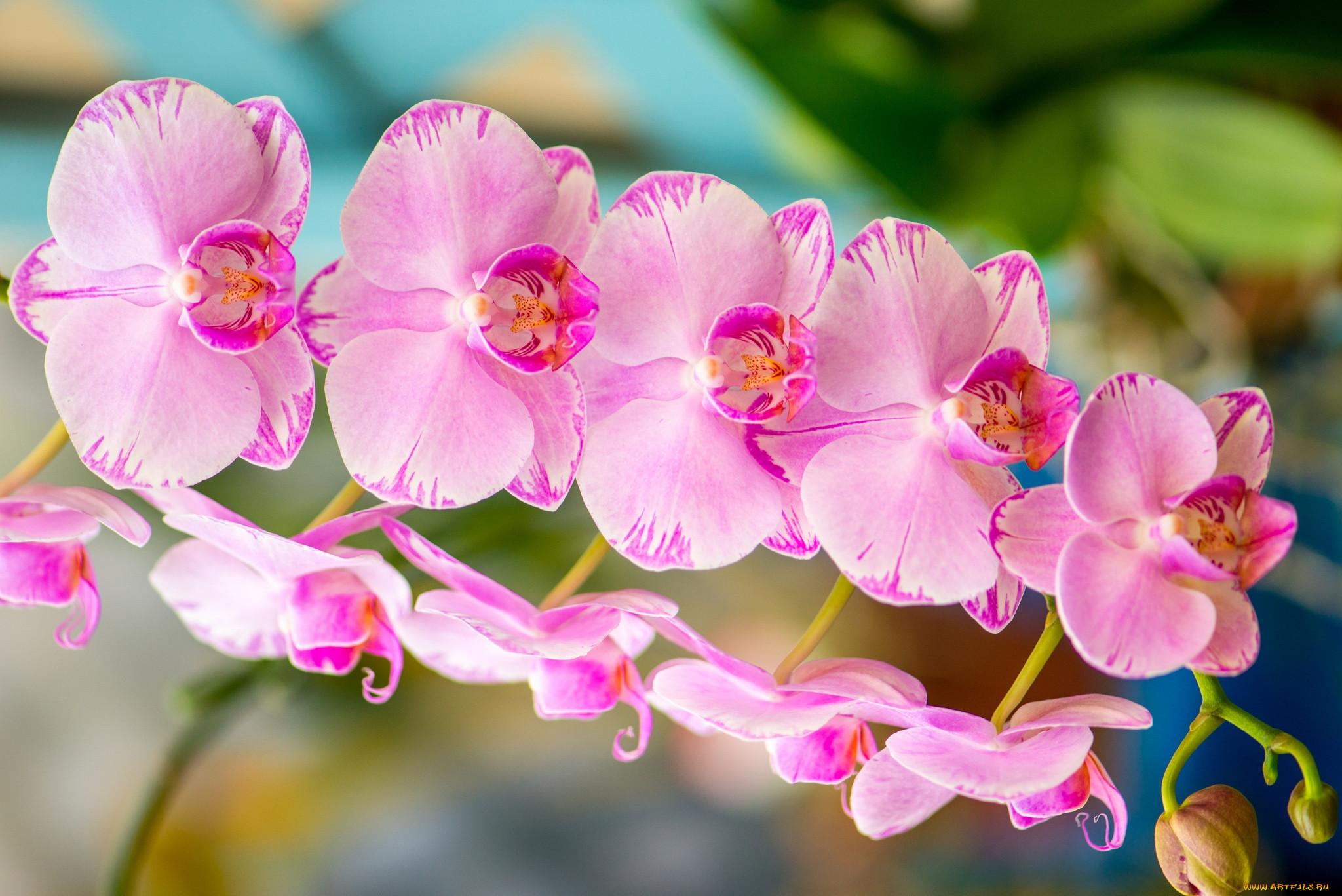 картинки орхидеи с большим разрешением символы имеют